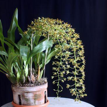 Grammatophyllum